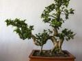 夏天榕树盆景怎么养?要从浇水和施肥入手
