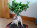 人参榕树盆景生根发芽的3个制作方法