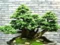 榕树盆景病虫害防治的2个注意事项