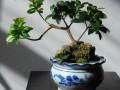 榕树盆景在冬天应该怎么养护?