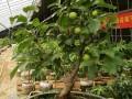 果树盆景的发芽施肥方法