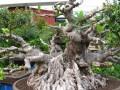 中国榕树盆景之乡 -- 漳浦县沙西镇