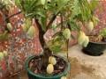 芒果盆景怎么养的5个方法