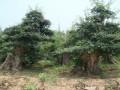 小的时候 我爸爸是做树苗盆景生意的