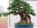榆树盆景怎么造型的的3个技巧