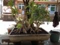 夏天购买的榕树盆景 原本发芽 现在都快死了