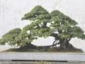 黄杨盆景的病虫害防治