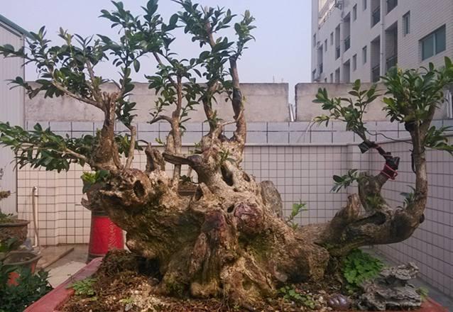 关于如何修剪黄杨盆景