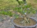 珍珠黄杨盆景发芽后怎么翻盘修剪方法
