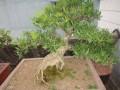 春季老桩黄杨盆景萌萌芽怎么养护