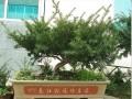 自己在家维护曼地亚红豆杉盆景 看到发出嫩芽