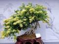 金银花盆景制作注意事项与价格