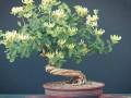 春季金银花盆景的4个制作技巧