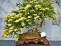 春季金银花盆景的矮化措施