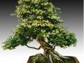 夏季金银花盆景的主干造型与整形修剪