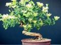 冬天金银花盆景的发芽制作与施肥