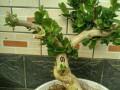 金银花盆景怎么扦插生根的5个方法 图片