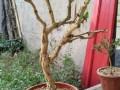春季金银花盆景怎么发芽扦插的4个方法