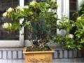 春天金银花盆景怎么扦插生根的方法 图片