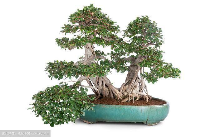 榕树盆景在办公室内摆放风水,势有何影响?