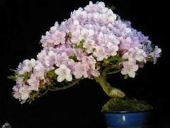 杜鹃盆景树怎么繁殖养护的方法 图片