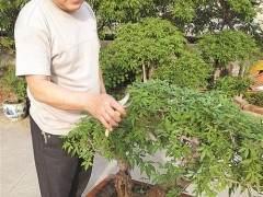 胡继安便置身于他的盆景园中修修剪剪