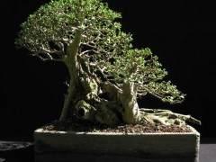 女贞盆景树的养护指南