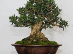 橄榄盆景树的养护指南
