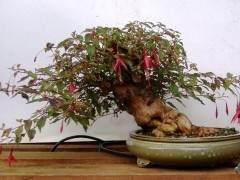 紫红盆景树怎么养护的指南