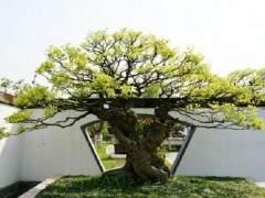 朴树盆景的养护指南