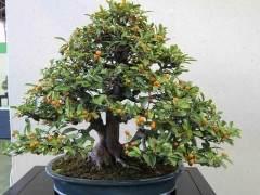 柑橘盆景树的养护指南