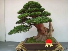 罗汉松盆景树怎么养护的指南