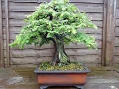 红木盆景树的养护指南