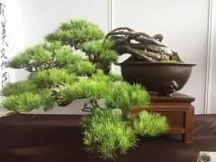 看季松树盆景如何浇水的2个步骤