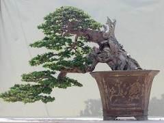 日本的盆景 -- 迷人的日本盆景世界