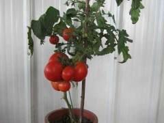盆景蔬菜:家庭园艺新亮点