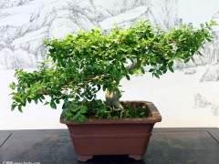 浅谈瓜子黄杨盆景的发芽制作与养护