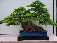榕树盆景的发芽制作技巧与养护