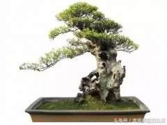 赤楠盆景怎么养护方法以及技巧