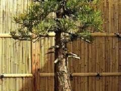 图解 巨型红杉盆景怎么栽培的5个方法
