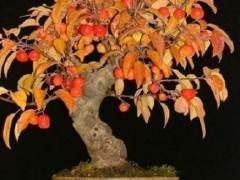 老外教你制作苹果盆景 图片