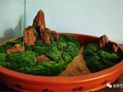 山水盆景中苔藓该怎么养护?