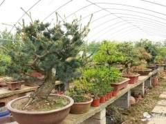 青湖镇盆景 一个黄杨盆景价格卖1万3