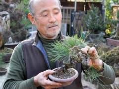 Kawabe还收藏了大量的日本红豆杉盆景