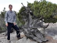 犹他州杜松为盆景材料创造了良好的条件