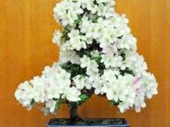 湾区Satsuki Aikokai举办了第十五届年度盆景展