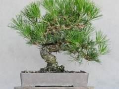 日本黑松盆景需要一套叫decandling的的精炼技术