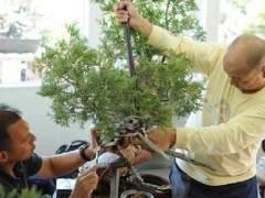图解 如何用铝丝来弯曲盆景的树枝