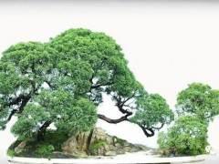 龙柏盆景怎么扦插生根的繁殖技巧