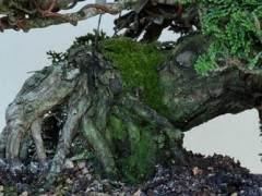 用苔藓覆盖盆景土壤是室内展览的绝佳技术